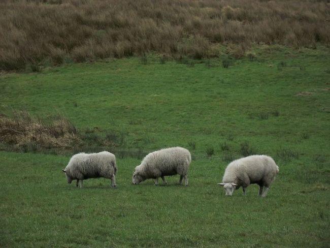 Hollingworth Lake EyeEm Best Shots - Nature EyeEm Best Shots EyeEm Nature Lover Grass Sheep🐑 Sheeps Three Animals Grazing