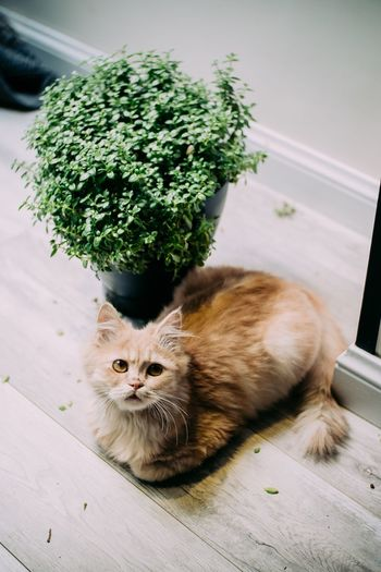 High angle portrait of cat by potted plant on hardwood floor