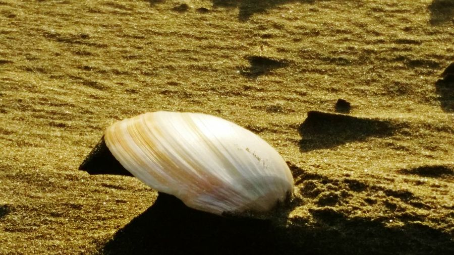 Lone shell