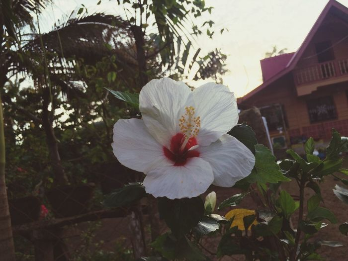 Flower Fragility Petal Growth Nature Flower Head Freshness Beauty In Nature Close-up No People Blooming Built Structure Tree Outdoors Day Architecture Hibiscus