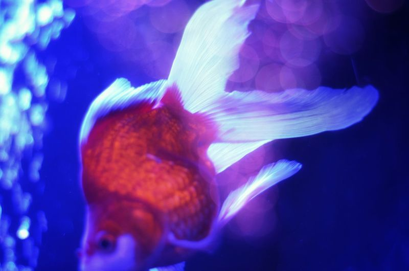 きんぎょ Goldfish Animal Themes Goldfish In Water Red And White Fish Relaxing Relaxing Moments Bokeh Lights Light Up Your Life Beautiful View Art Aqualium アートアクアリウム2016 Tokyo Japan