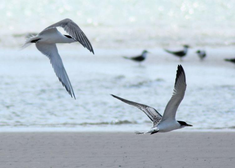 Animal Themes Beach Bird Flock Of Birds Flying Sand Sea Sea Bird Seagull Spread Wings Water Wildlife