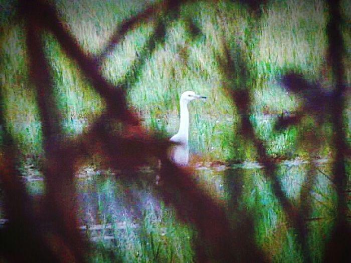 Nature_collection Nature_collection #eyeemnaturelover #nature ISeeYouSeeMe Egret Walking In Creek