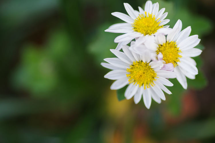 Flower Flowering Plant Vulnerability  Plant Fragility Freshness Beauty In Nature Growth Petal Inflorescence Close-up Nature Flower Head Yellow No People White Color Outdoors Relaxation Selective Focus Day Pollen