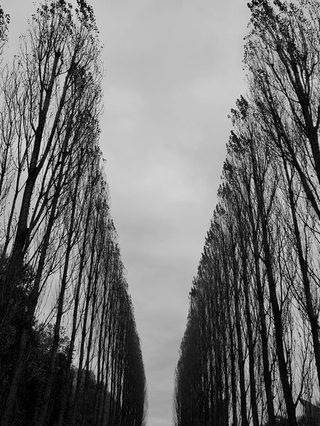 Gray Gray Day Grayness Trees Avenue Avenue Of Trees Alley Tree Alley Black And White Geometry Abstract Samsungphotography Tree Sky