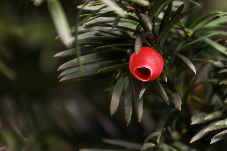 Taxus baccata Beauty In Nature Botany Branch Close-up Day Focus On Foreground Freshness Fruit Growth Nature No People Outdoors Plant Red Taxus Taxus Baccata Toxic Tree