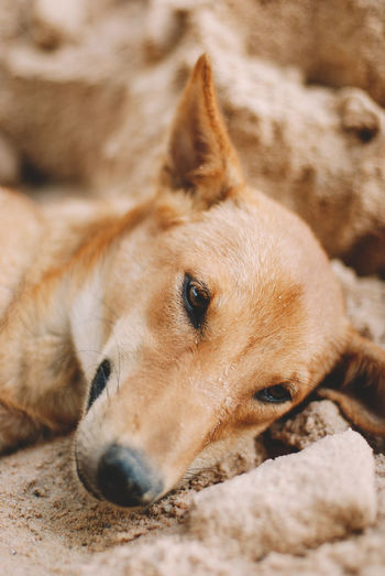 Mammal Domestic One Animal Dog Canine Animal Animal Themes Pets Domestic Animals Vertebrate Relaxation No People Close-up Brown Portrait Animal Body Part Looking Away Looking Lying Down Selective Focus Animal Head  Snout