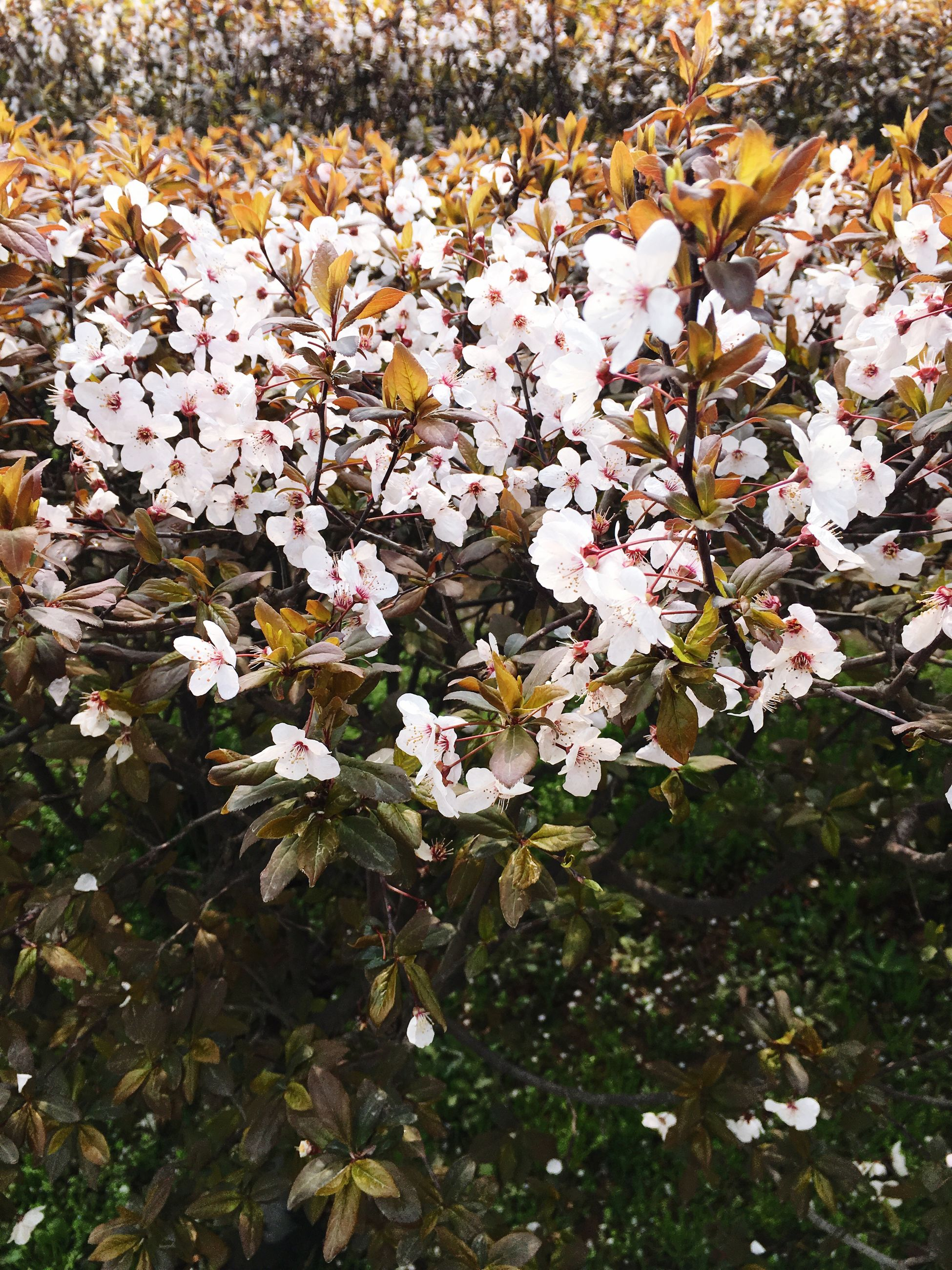 flower, fragility, nature, beauty in nature, growth, season, high angle view, freshness, field, petal, autumn, white color, abundance, blooming, leaf, change, day, blossom, park - man made space, tree