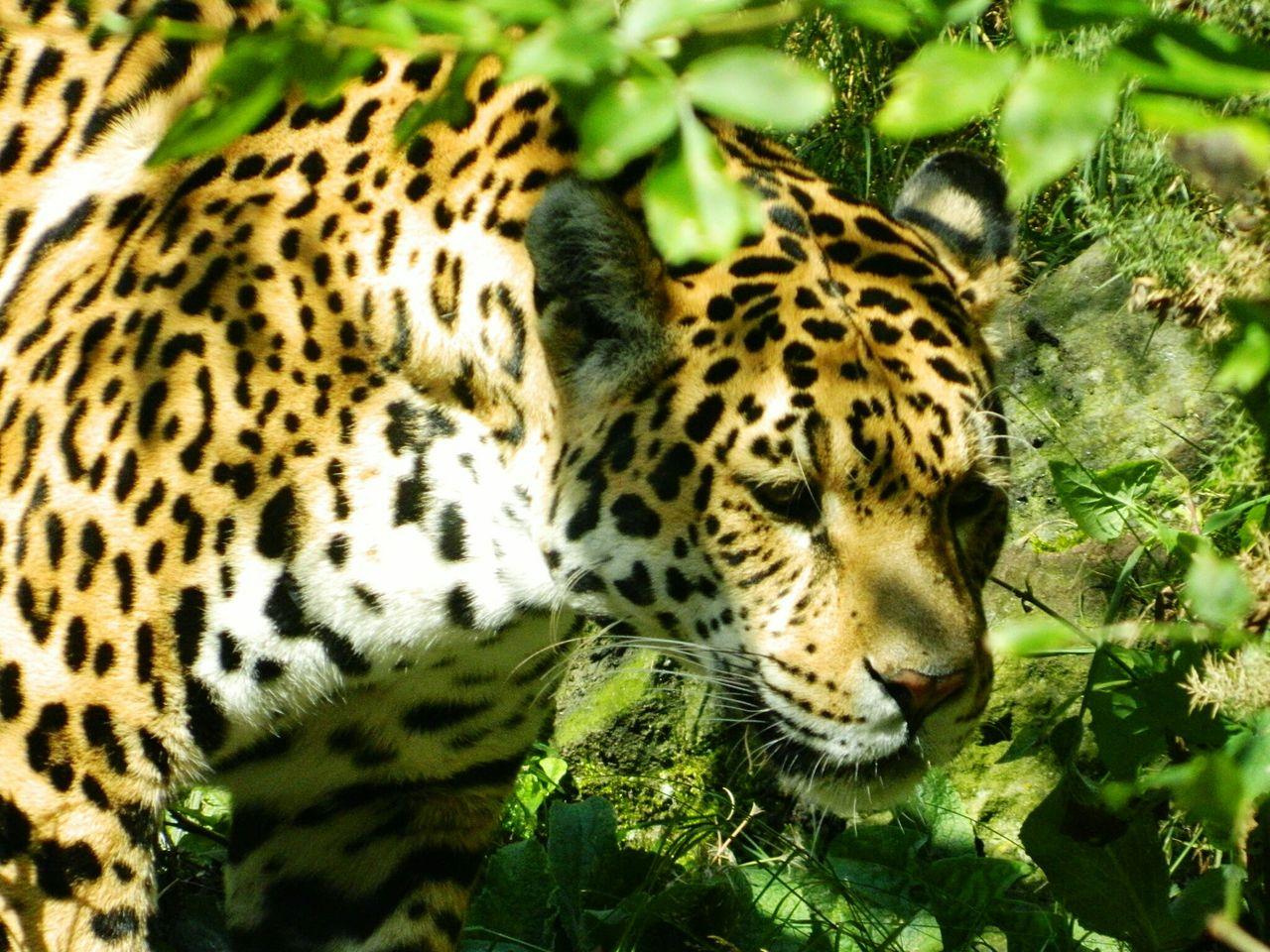 View Of Leopard Between Leaves