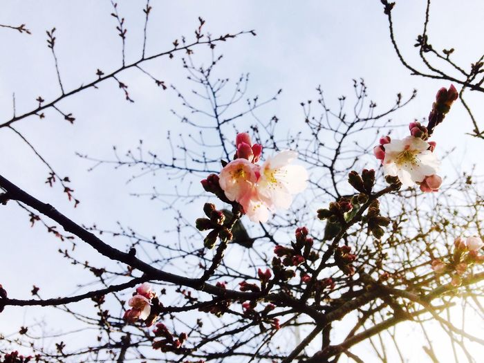 Spring Is Coming  Cherry Blossoms Urban Nature Exquisite Japan
