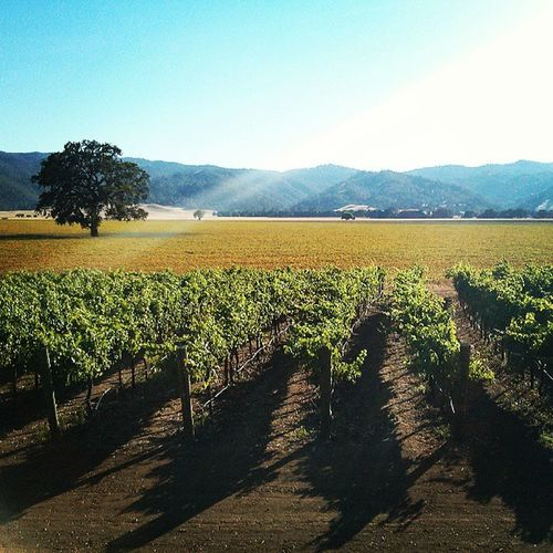 Vineyard at Cachecreek Casino . Landscape Vineyard Sunset Golden Field Tree