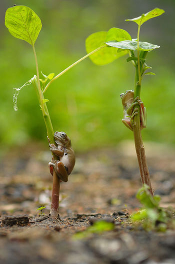 Close-Up Of Small Frogs Perching On Plant At Field