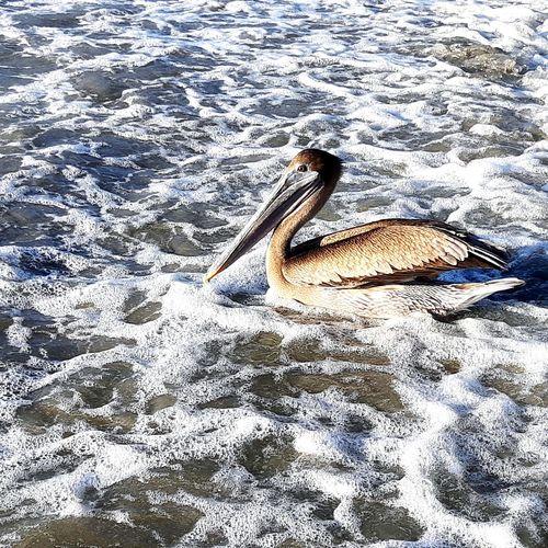 Nadando Pelican