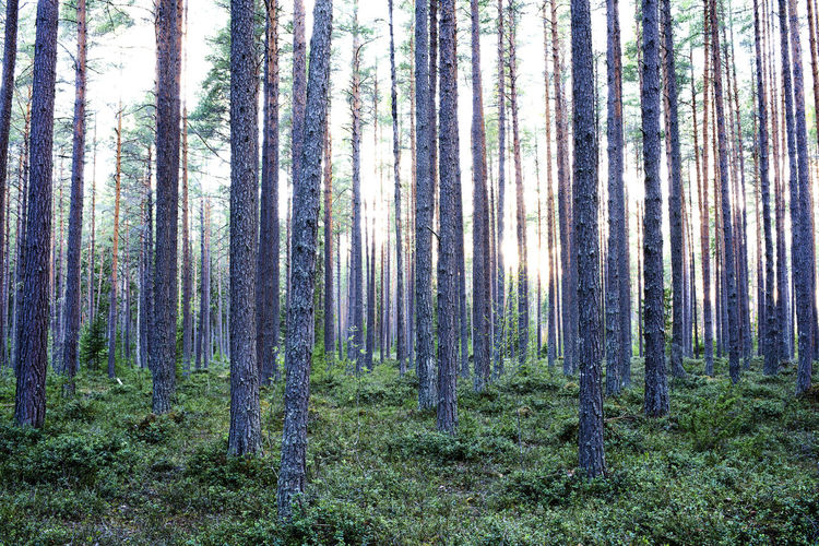 Trees Pine Tree