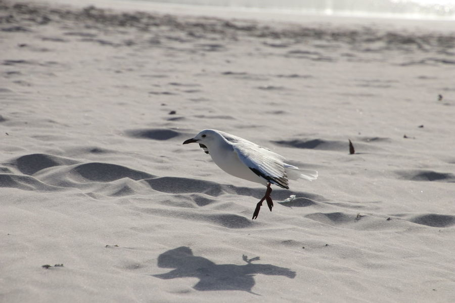 Beach Bird Sand Seagull Shore Nature Outdoors No People Day Sea Life One Animal Sea Perching MyViewOfNature Myview No Edit/no Filter Wings Spread Landing - Touching Down Landing Bird The City Light