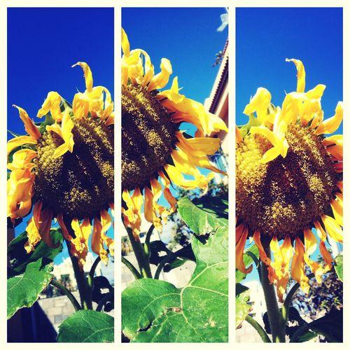 Sunflowers Girasoles
