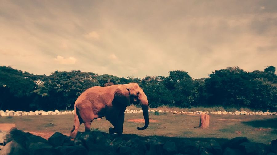 Elephant on field against trees