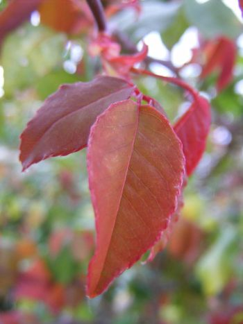 Autumn Beauty In Nature Botany Close-up Day Focus On Foreground Fragility Green Green Color Growth Leaf Leaf Vein Leaves Leaves_collection Natural Pattern Nature No People Outdoors Plant Red Red Red Color Red Leaves Selective Focus