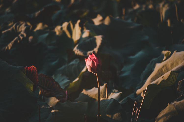 High angle view of flowering plants growing on rock during sunset