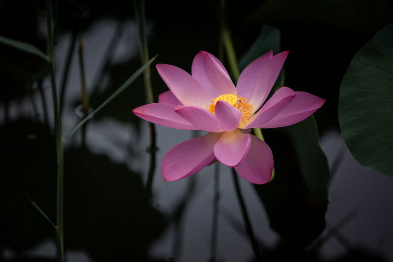 Flower Head Flower Black Background Lotus Water Lily Closing Pink Color Petal Water Lily Leaf Water