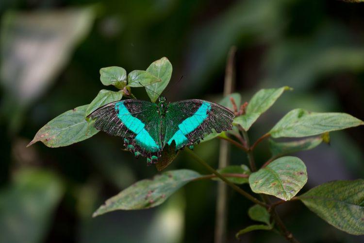 Butterfly on leaf - grüner schwalbenschwanz