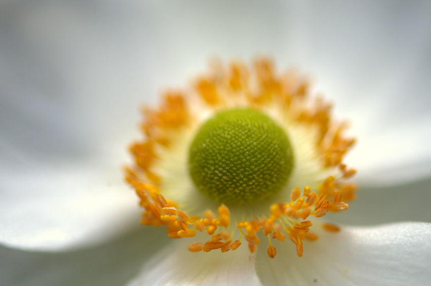 Anenome Beauty In Nature Close-up Day Flower Flower Head Fragility Freshness Growth Nature No People Outdoors Petal Plant Sky Stamen