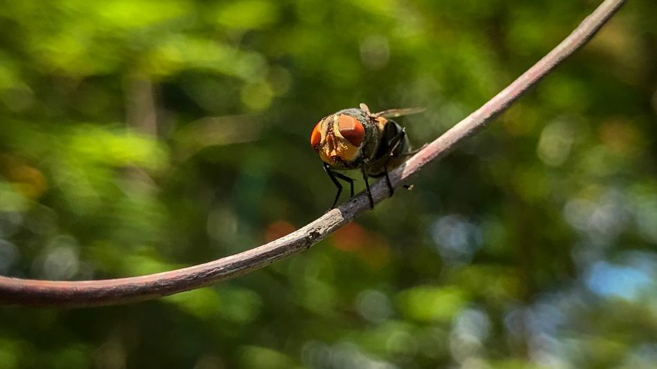 Green Bottle Fly - manoeuvring and balancing on a twig in the garden. Green Bottle Fly Metallic Blowfly Calliphoridae Garden Fly Acrobatics  Clinging Balancing September 2018 Animal Wildlife Animals In The Wild Animal Insect Animal Themes Invertebrate One Animal Animal Wing Twig Branch Plant Nature Outdoors Day No People Close-up Focus On Foreground