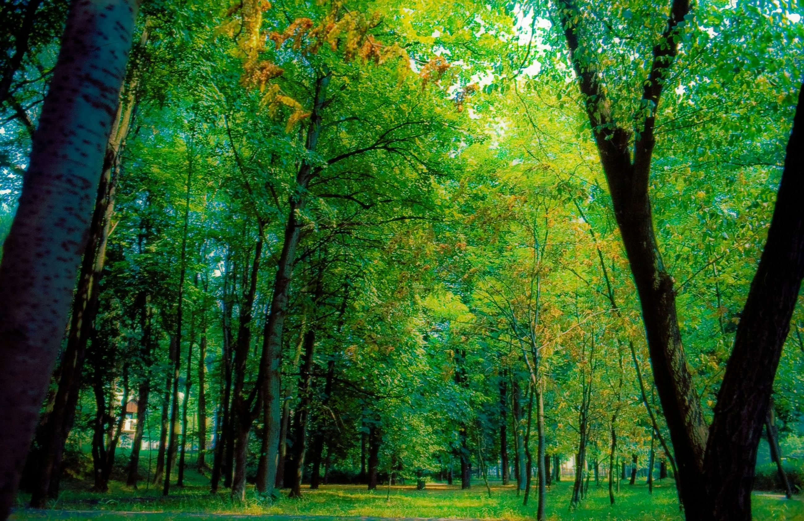 tree, tree trunk, growth, green color, tranquility, nature, beauty in nature, branch, tranquil scene, scenics, forest, lush foliage, sunlight, green, woodland, park - man made space, landscape, day, idyllic, no people