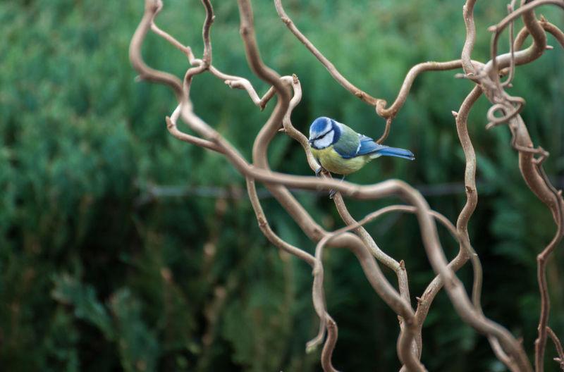 Bluetit perching on bare tree branch