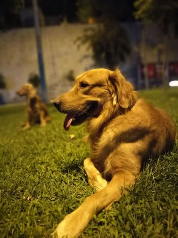 Gold Goldenretriever Goldenretriver Goldenretrievers Goldenretrieversofinstagram Goldenretrieverpuppy Animal Themes One Animal Domestic Animals Dog Pets Grass Looking Away Animal Head  Curiosity Mammal Close-up Selective Focus Zoology Field Relaxation Focus On Foreground Grassy Outdoors Day