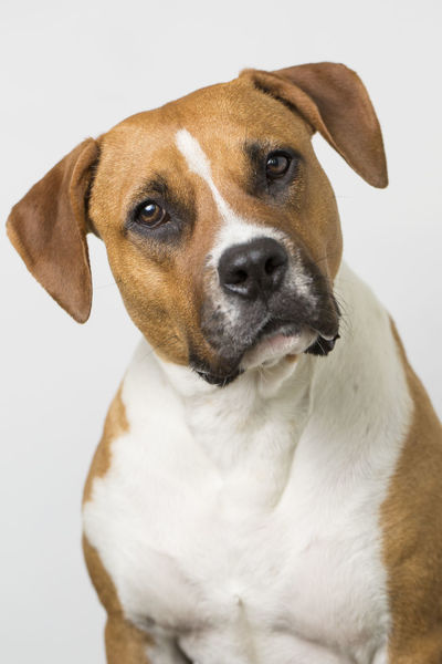 Animal Themes Boxer Boxer Dogs Brown And White Close-up Cute Dog  Dog Dog Love Dog Portrait Dogs Domestic Animals Head Tilt No People One Animal Pets Pit Bull Pitbull Pitbulls Portrait Rescue Rescue Dog Studio Shot White Background