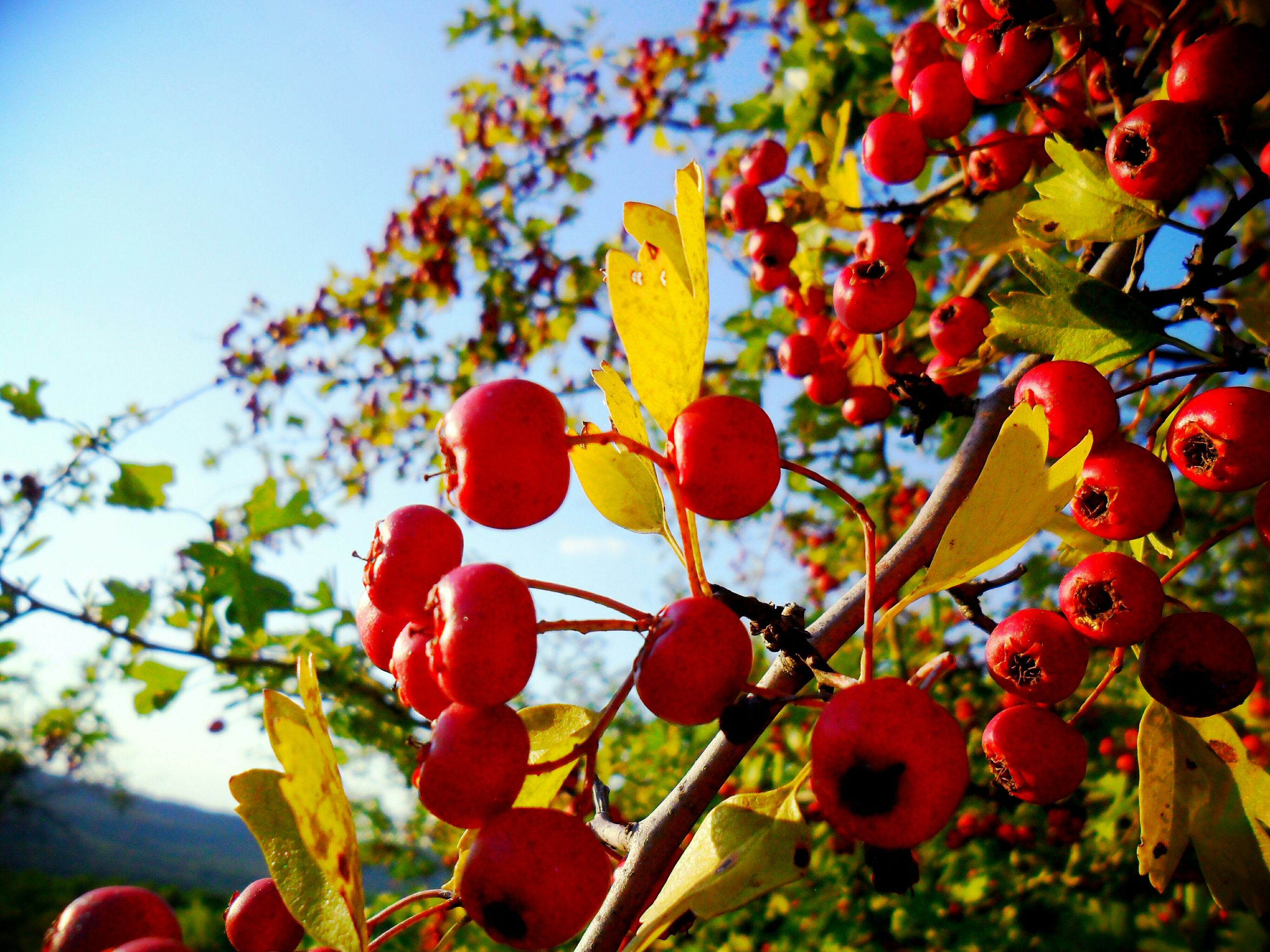 freshness, fruit, growth, red, branch, tree, low angle view, food and drink, flower, nature, beauty in nature, leaf, cherry, food, apple tree, berry fruit, berry, focus on foreground, healthy eating, cherry tree