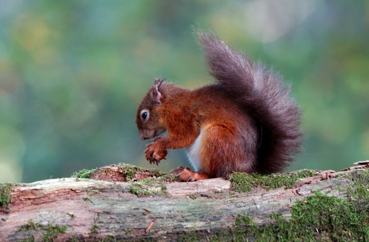 Animal Themes Animal Wildlife Animals In The Wild Brownseaisland Day Dorset Eating Mammal Nature No People One Animal Outdoors Red Squirrel Squirrel Steve Maskell Stevejm2009