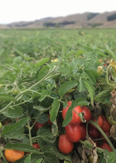 Field of processing tomatoes. Copy Space Roma Tomatoes Processing Tomato Crop Production Commercial Agriculture Tomato Field Tomato Plant Tomatoes Vertical Food Green Color Growth Healthy Eating Leaf Plant Part Agriculture Plant Fruit Freshness Focus On Foreground Field