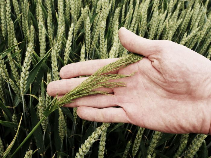 Man hand touch weed in wheat field. young green wheat corns growing in a field