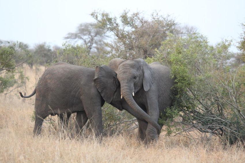 African Elephant Animal Animal Family Animal Themes Animal Trunk Animal Wildlife Animals In The Wild Baby Elephant Baby Elephants Playjng Elephant Elephant Calf Elephants Herbivorous Mammal No People Vertebrate