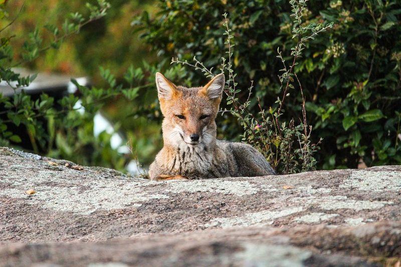 Animal Nature Naturaleza Foxy Zorro Wildlife Wild Portrait Close-up Fox Habitat Fauna Wild Animal Exotic