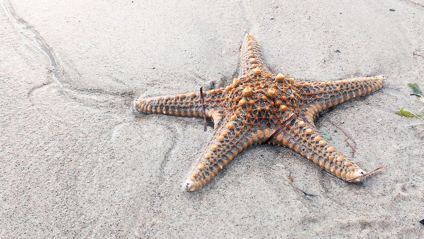 Starfish  Marine Life Beach Sea Creatures Washed Up