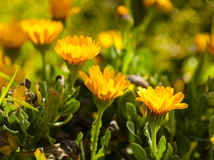 Beauty In Nature Blooming Calendula Calendula Officinalis Close-up Day Field Flower Flower Head Fragility Freshness Green Color Growth Homeopathy Leaf Marigold Marigold Flowers Medicinal Plant Nature No People Outdoors Petal Plant Selective Focus Yellow