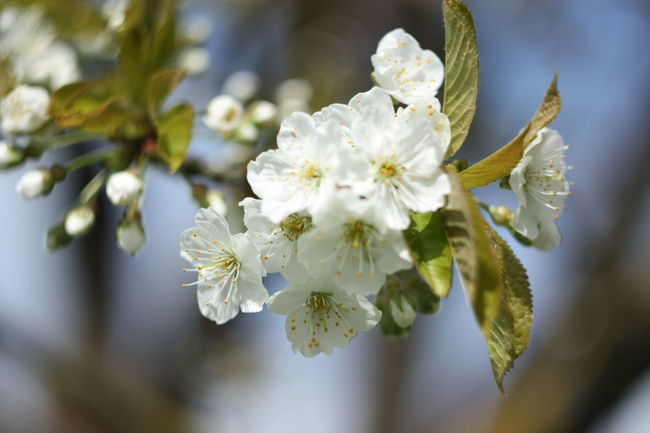 Branch Cereal Plant Cerry Cherry Blossoms Day Spring Spring Flowers Witeflower