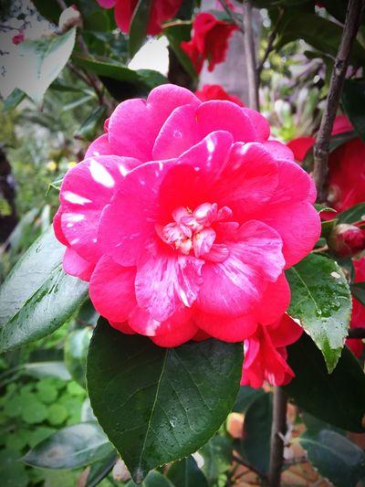 Colorful 🌷 Flowers 🌹 Rainny Day Shockingpink