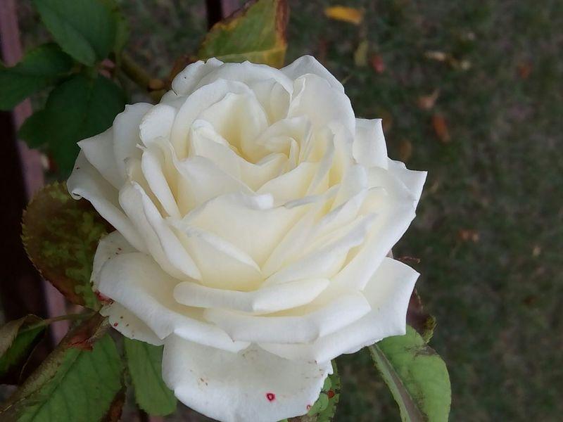 роза белая роза Rosé White White Rose Flower Flower Head Flowers, Nature And Beauty Flower Photography Close Up White Flower Flower Collection Flowers,Plants & Garden Flowers_collection Plants And Flowers Fresh Flower Nature Freshness