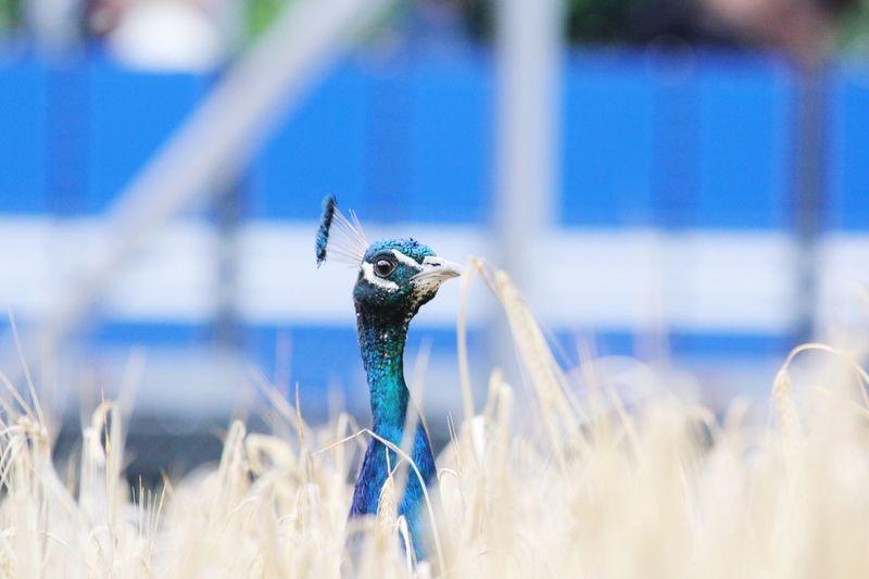 Peacock In Field