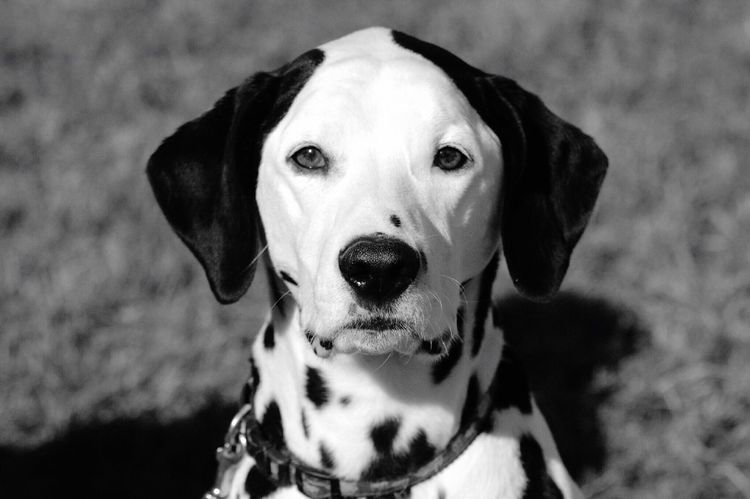 Dalmatian Black And White One Animal Dogs Portrait Of A Dog Dog Face Dog Head Shot