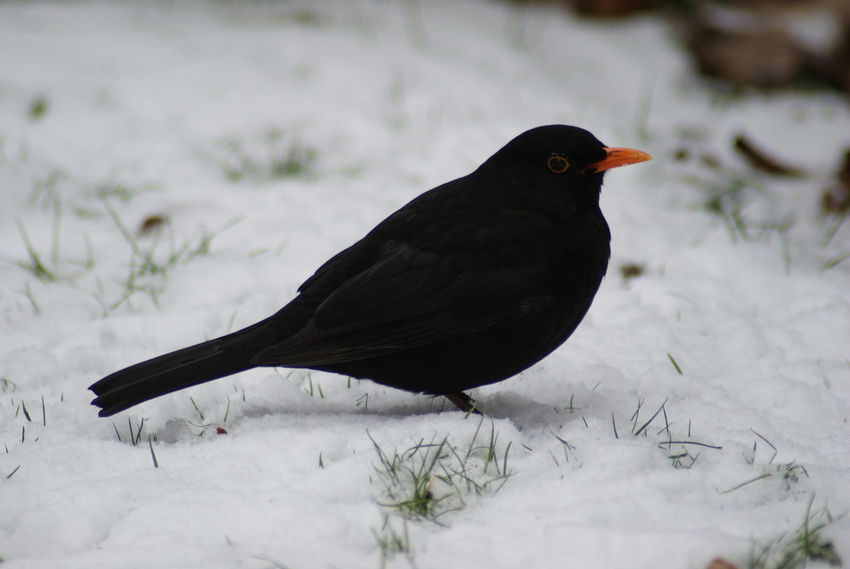 Animal Themes Animal Wildlife Animals In The Wild Bird Black Color Blackbird Close-up Cold Temperature Day Nature No People One Animal Outdoors Snow