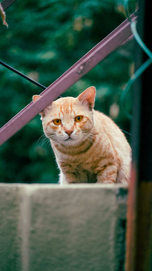 Portrait of ginger cat outdoors