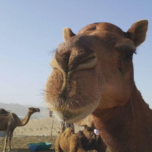 Helloo.. Showcase: February Camel Animal Photography Animal_collection Animal Themes Animals In The Wild Animal Desert Sahara Desert Sahara Life