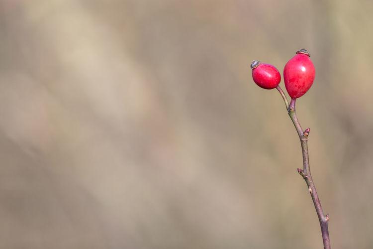 Close-up of rose hips