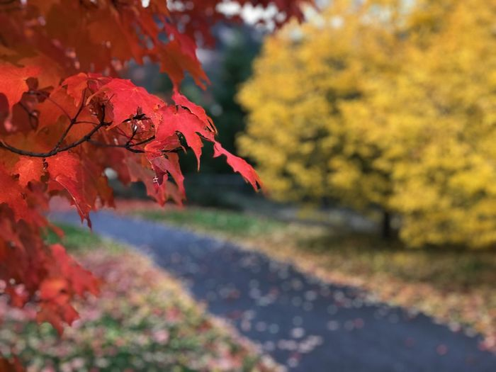 Close-Up Of Maple Leaves On Road