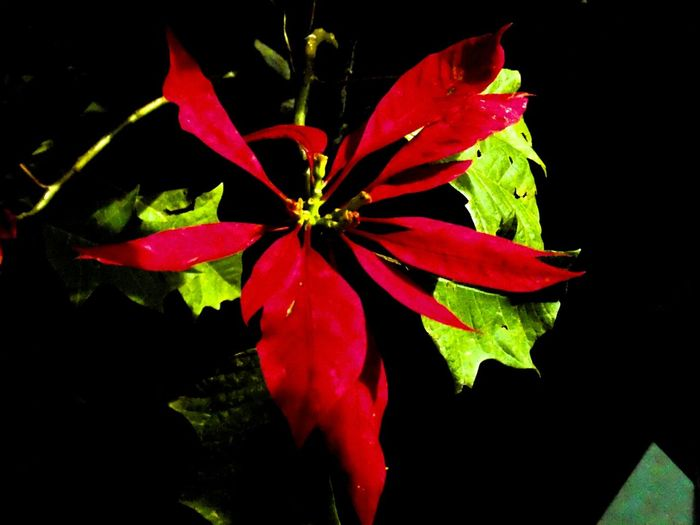 Noche Buena  Flower Collection Flowers, Nature And Beauty Flowers,Plants & Garden